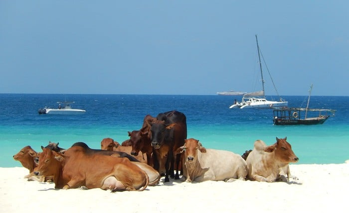 43 Cows on the Beach – Zanzibar Island Tanzania