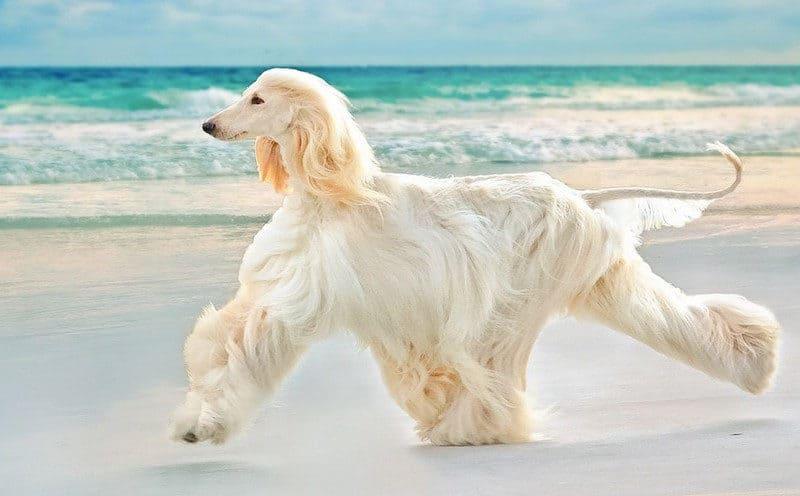 Most Expensive Dogs - Afghan Hound