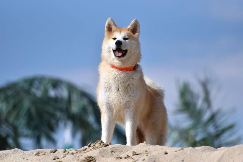 Most Expensive Dogs - Akita