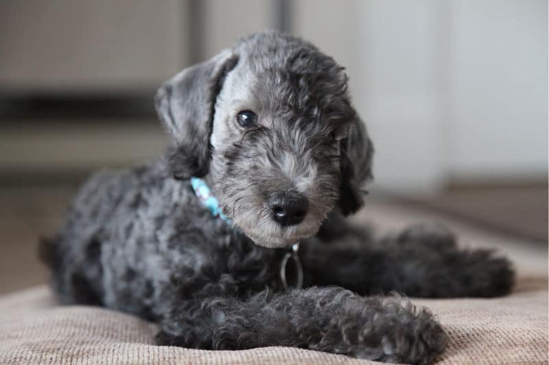 Most Expensive Dogs - Bedlington Terrier