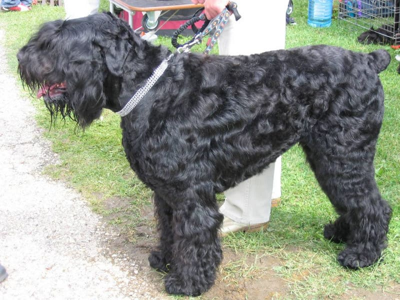 Most Expensive Dogs - Black Russian Terrier