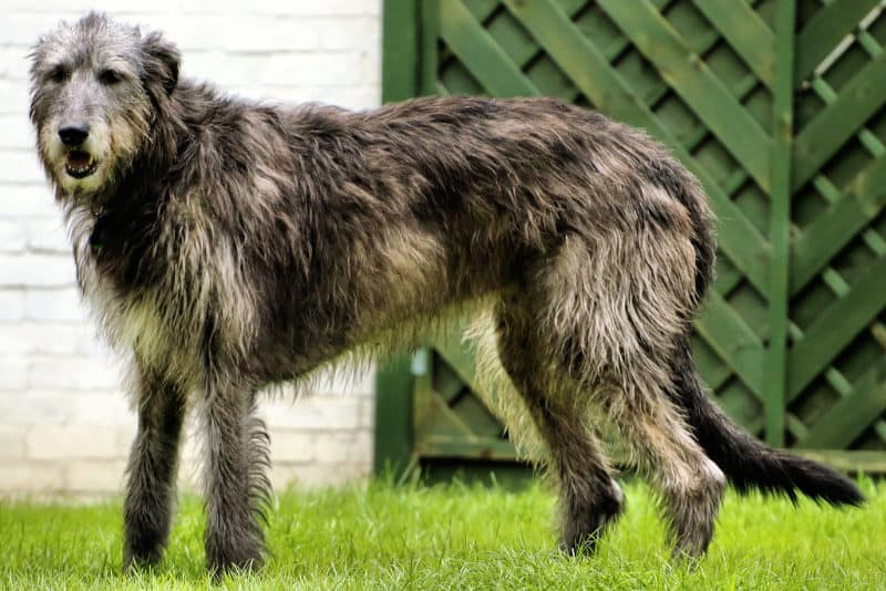 Most Expensive Dogs - Irish Wolfhound