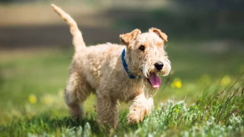 Most Expensive Dogs - Lakeland Terrier