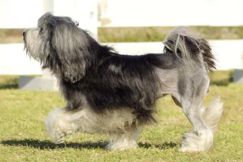 Most Expensive Dogs - Lowchen