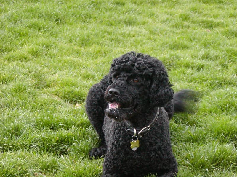 Most Expensive Dogs - Portuguese Water Dog