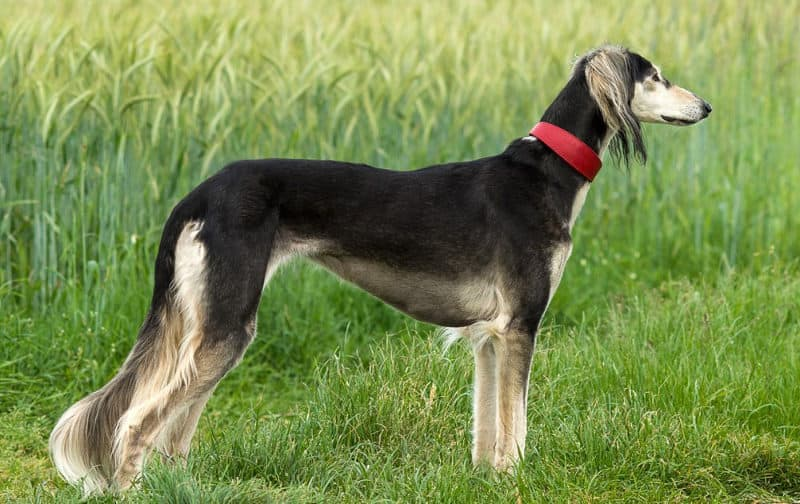 Most Expensive Dogs - Saluki
