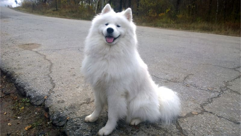 Most Expensive Dogs - Samoyed