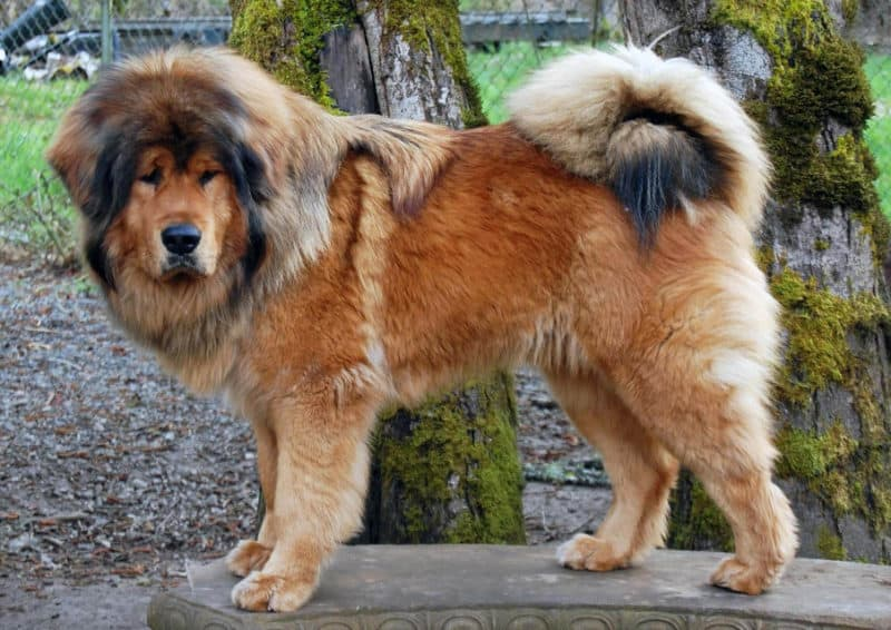 Most Expensive Dogs - Tibetan Mastiff
