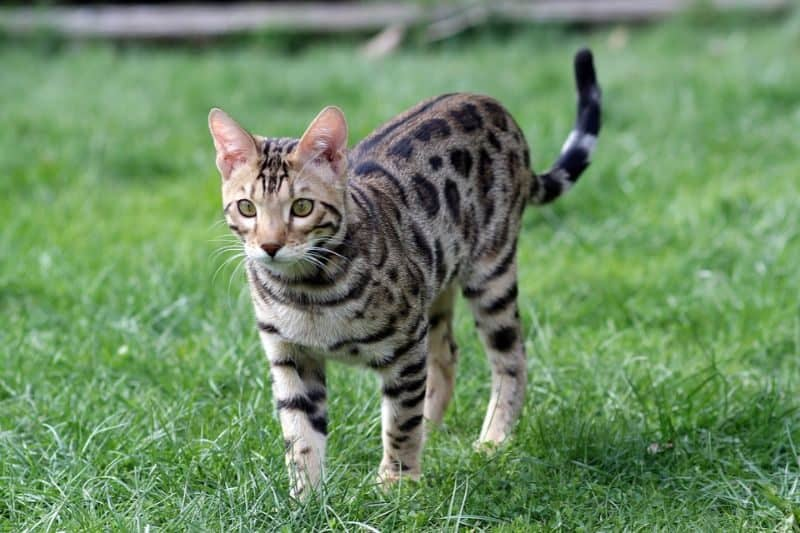 Most Expensive Pets - Bengal Cat