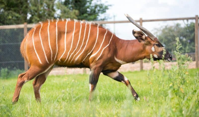 Most Expensive Pets - Bongo Antelope