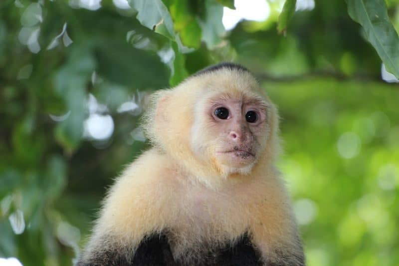 Most Expensive Pets - Capuchin Monkey