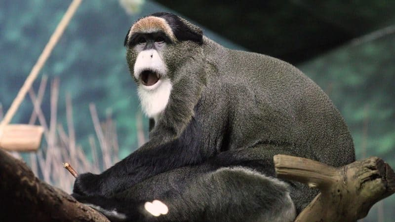 Most Expensive Pets - De Brazzas Monkey