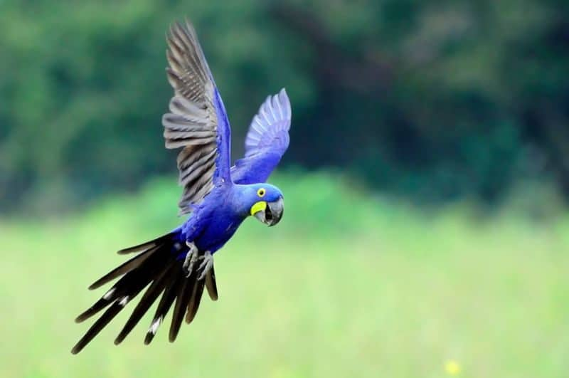 Most Expensive Pets - Hyacinth Macaw