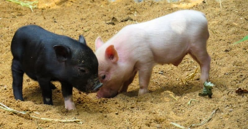 Most Expensive Pets - Micro Pig