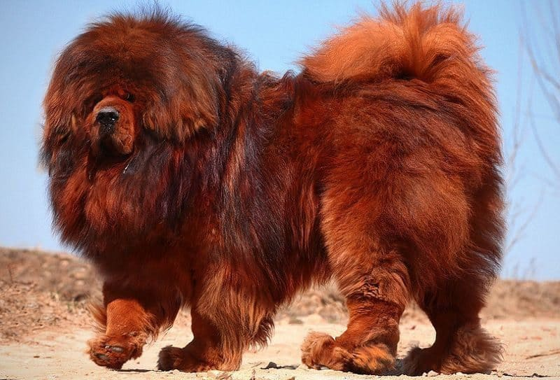 Most Expensive Pets - Pure Bred Tibetan Mastiff