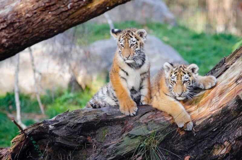 Most Expensive Pets - Tiger Cubs