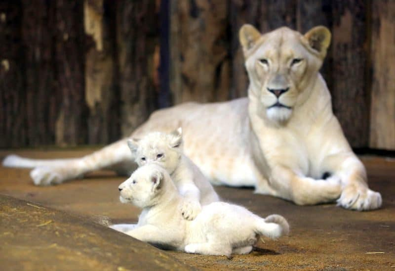 Most Expensive Pets - White Lion Cubs