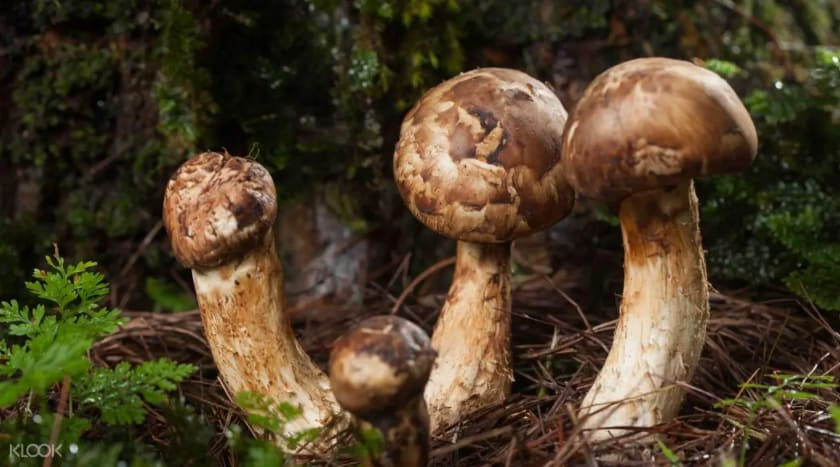 Most Expensive Foods - Matsutake Mushrooms